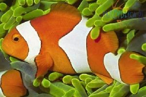 Amphiprion percula (HODOWLA)
