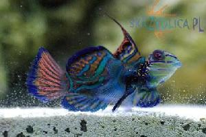 Synchiropus splendidus BLUE