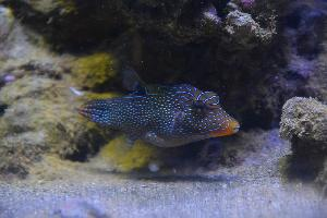 Rozdymka perłowa - Canthigaster solandri -  Blue spotted puffe