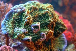 Montipora spp. Superman 1