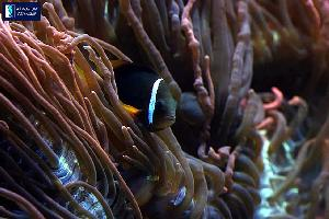 Pomacentridae - Amfiprion pomidorowy - Amphiprion frenatus