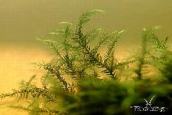 Willow moss (fontinalis sp.)