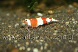 Caridina cf. cantonensis 'red bee/crystal red'