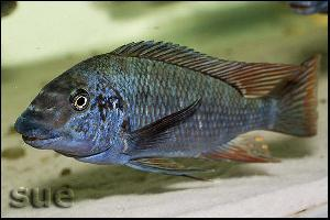 Petrochromis sp. 'texas red' longola