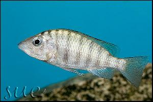 Gnathochromis pfefferi Chaitika
