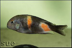 Tropheus sp. Bulu Point