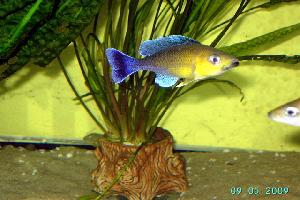 cyprichromis-blue-orchid