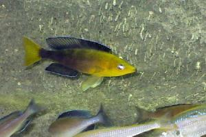 Cyprichromis Jumbo Yellow Head