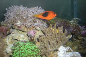 Amphiprion ocellaris - nemo