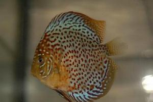 Dyskowce - Yellow belly tefe spotted green F3 semi adult