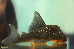 Hemiancistrus sp. L-128, L128, Blue Phantom Pleco - Hemiancistrus sp. L-128, L128, Blue Phantom Pleco