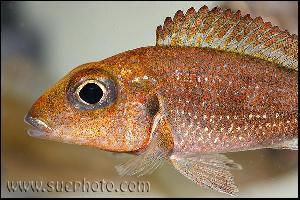 Callochromis macrops Ndole Red