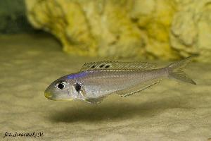 Xenotilapia bathyphilus blue yellow