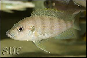 Greenwoodochromis christyi Chaitika