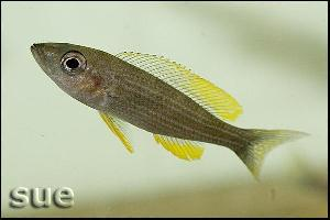Paracyprichromis brieni Chituta Yellow Cheek