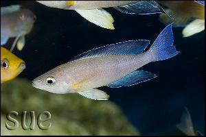 Cyprichromis sp. Leptosoma Jumbo Mpimbwe Yellow Head