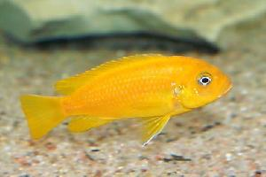 Pseudotropheus msobo bright orange NEW WF