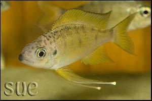 Ophthalmotilapia nasuta Tiger