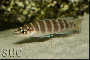 Neolamprologus cylindricus chituta