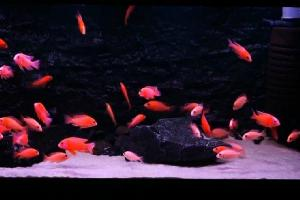 Aulonocara Fire Fish Red Line