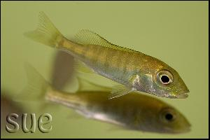 Boulengerochromis microlepis - m�ody osobnik