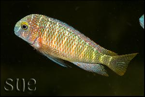 Tropheus sp. Lufubu Purple